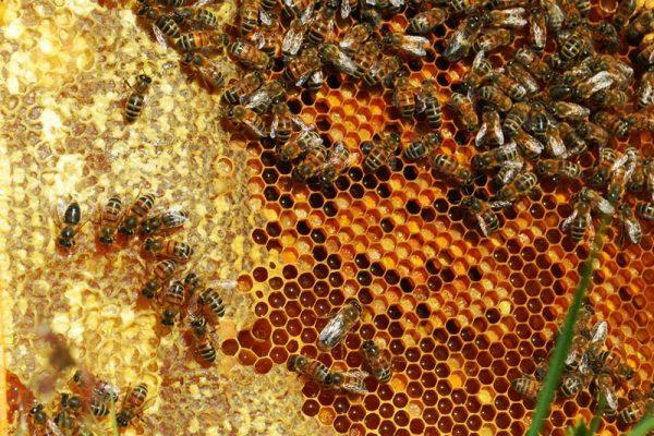 cadre avec des alvéoles remplies de miel et de pollen orangé