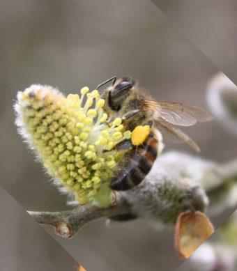 Récolte de pollen par une abeille sur une fleur de saule