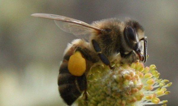 Labeille transporte la propolis sur ses pattes arrières, comme le pollen. Sur la photo : récolte de pollen par une abeille sur une fleur de saule