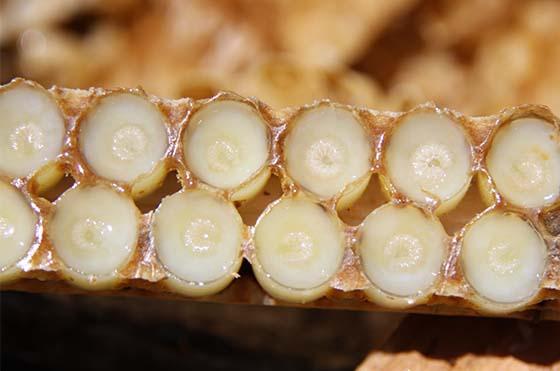 Barette de cupule avec les larves posées sur la gelée royale : matériel utilisé pour la production de gelée royale en France.