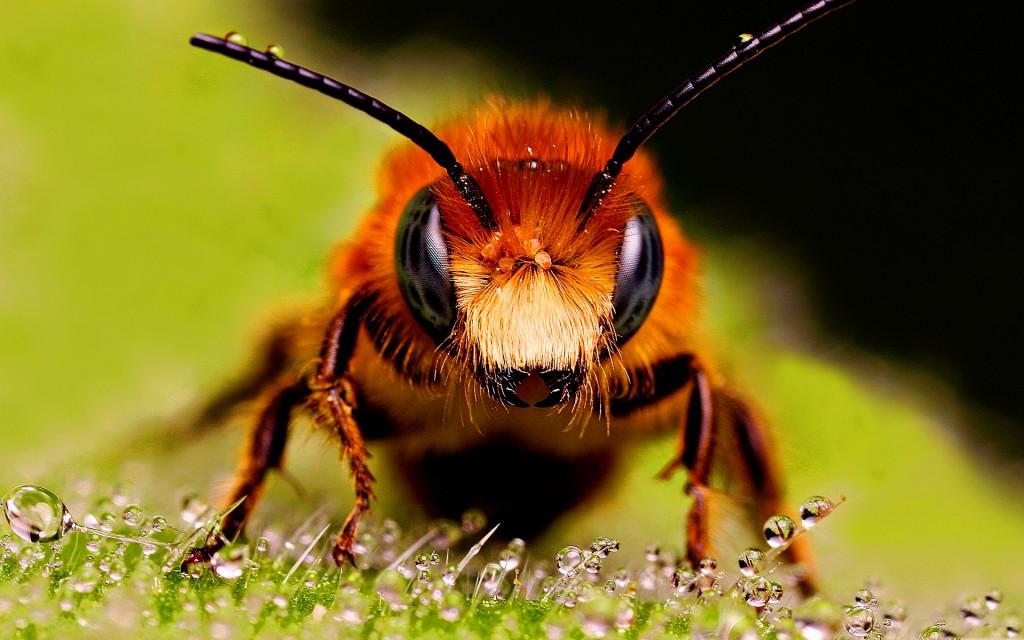 Gros plan sur une abeille : elle prélève la propolis sur les bourgeons. Elle est très utilisée dans l'industrie pharmaceutique.