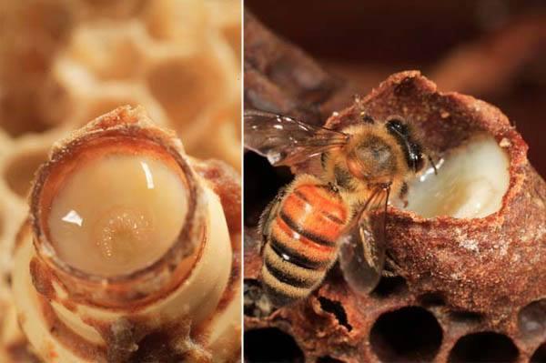 production de la gelée royale par les abeilles