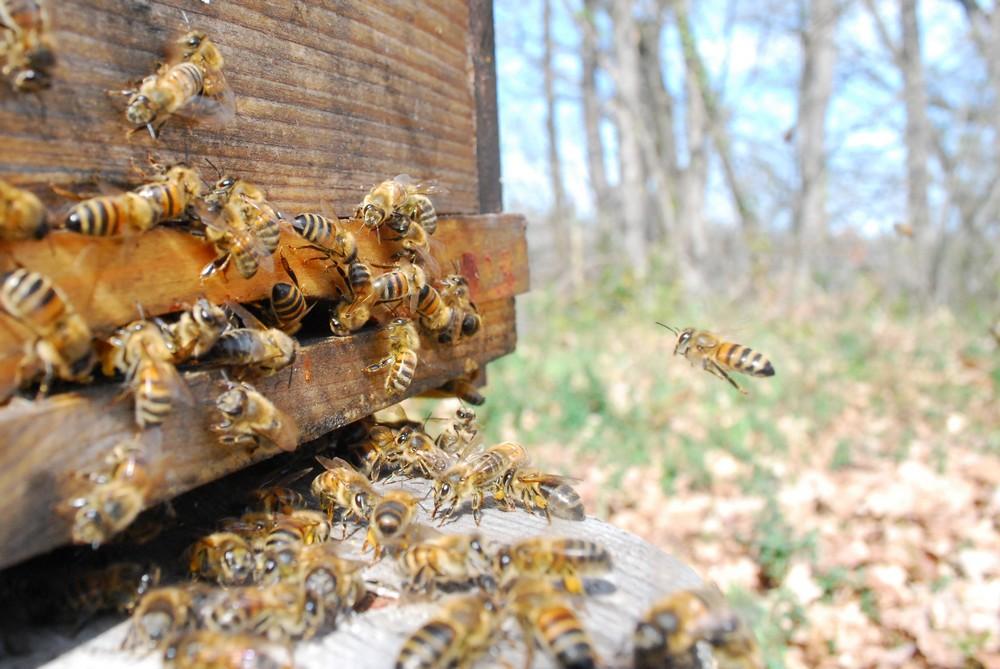 retour des abeilles à la ruche, c'est là que l'on récolte le plus de venin.
