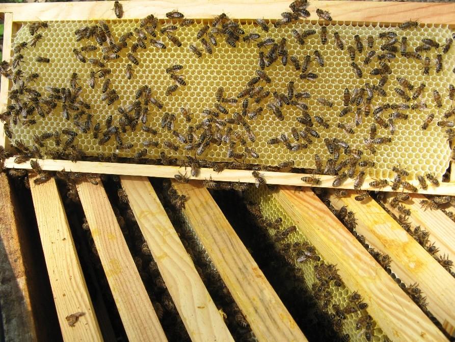 production de miel en France par les abeilles sur cadre de hausse