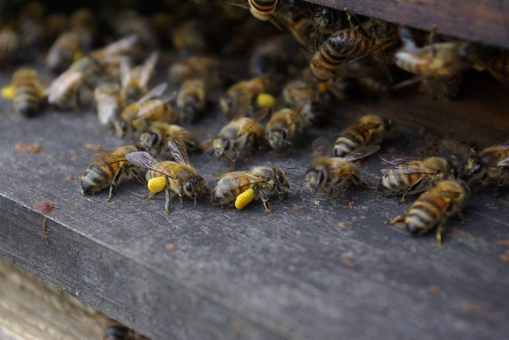 Entrée de ruches et retour d'abeilles chargées en pollen frais