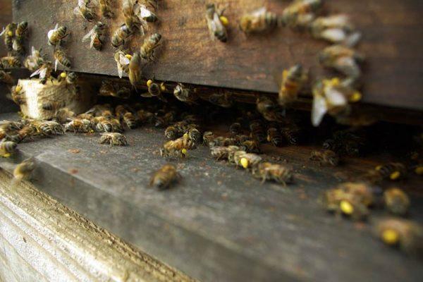 entrée d'une ruche et arrivées d'abeilles chargées en pollen