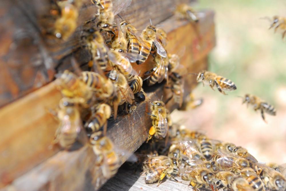 Planche d'envol d'une ruche : on étudie le processus de maturation du miel par les abeilles à l'intérieur de la ruche grâce à un tomographe à rayons X.