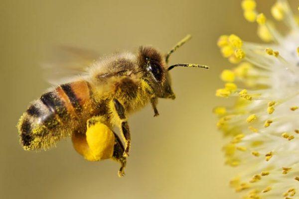 L'analyse des pollens récoltés par les abeilles