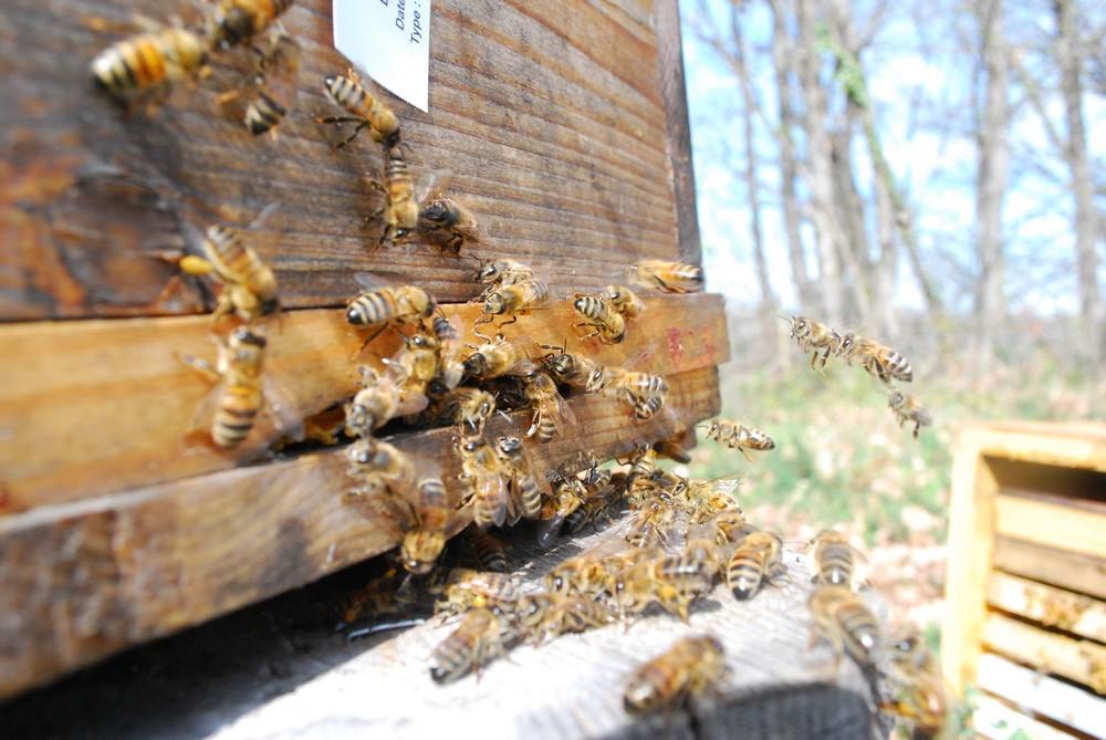 abeilles butineuses pour l'alimentation de la ruche