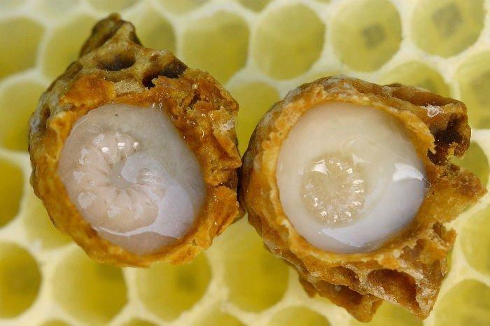 jeune larve de reine dans une cellule gorgée de gelée royale pure