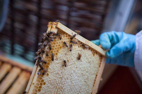 cadre de miel operculé avec des abeilles