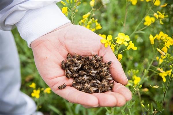 mortalité d'abeilles et traitements à base d'insecticides néonicotinoïdes