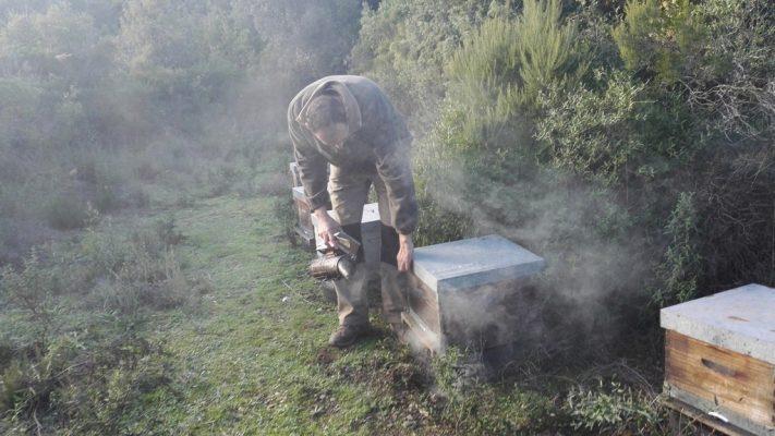 Ouverture de ruche. Enfumer les abeilles garantit la sécurité de l'apiculteur.