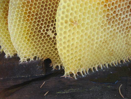 production de cire par les abeille