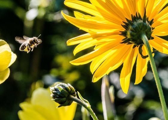 pollinisation d'une fleur de tournesol par une abeille