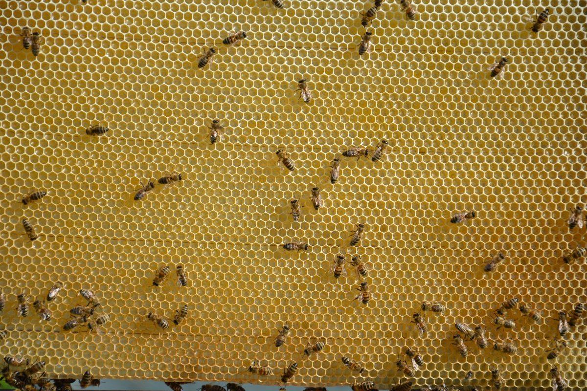 cadre de cire avec des abeilles
