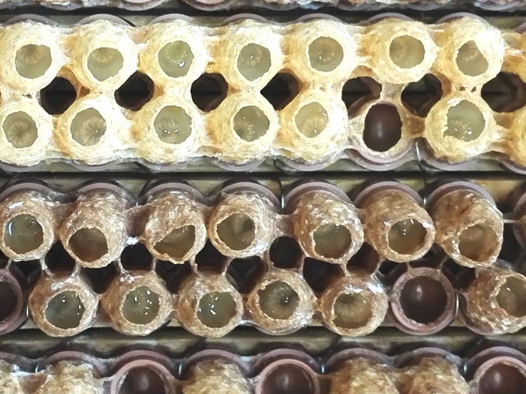 La gelée royale produite par les abeilles pour leurs larves ont un effet antioxydant bénéfique pour leur progéniture mais aussi pour nous, les humains.