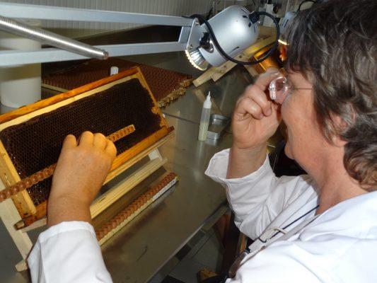 greffage des larves pour la production gelée royale française