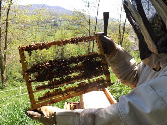 Récolte des barettes à gelée royale bio