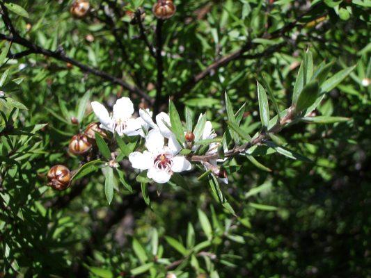 Le miel de Manuka est l'or brun de la Nouvelle Zélande
