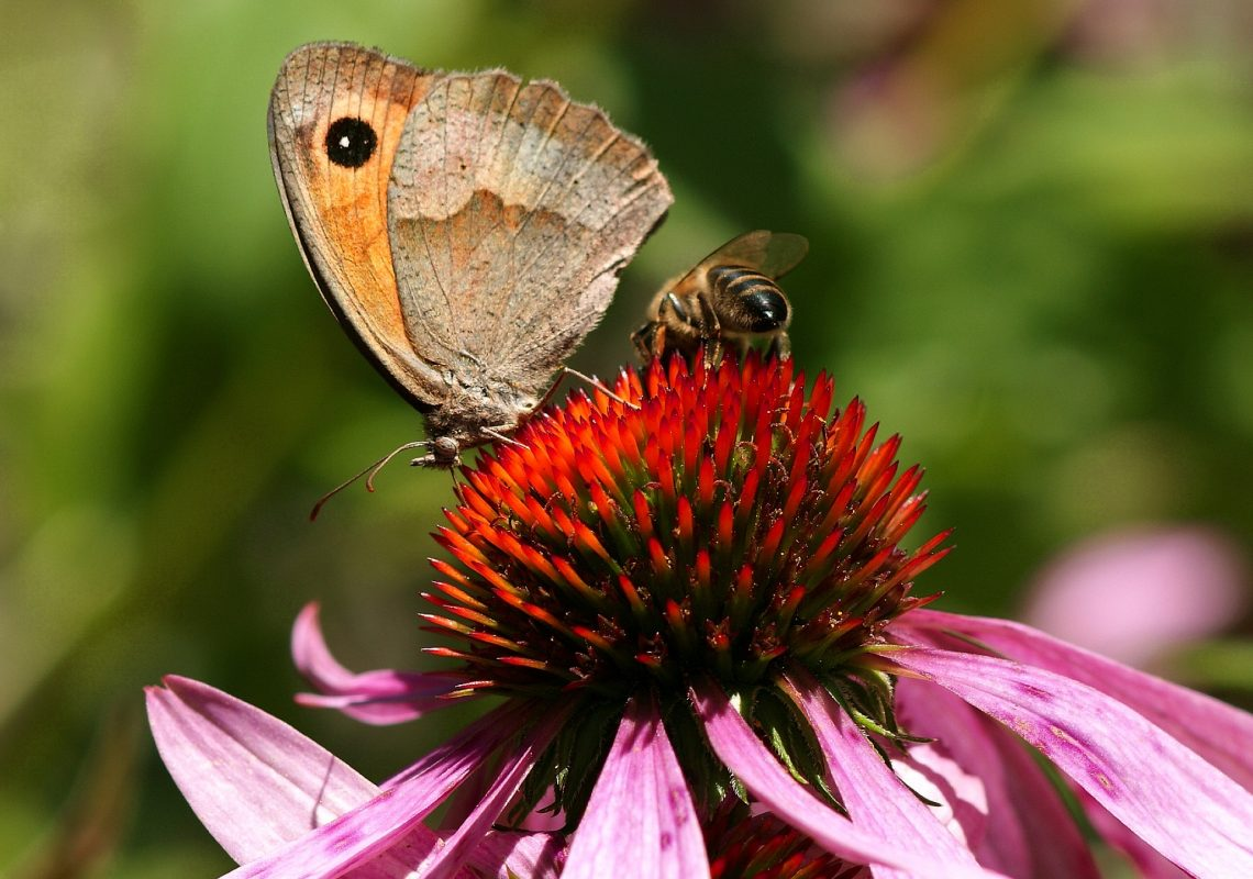 biodiversité insectes pollinisateurs abeilles