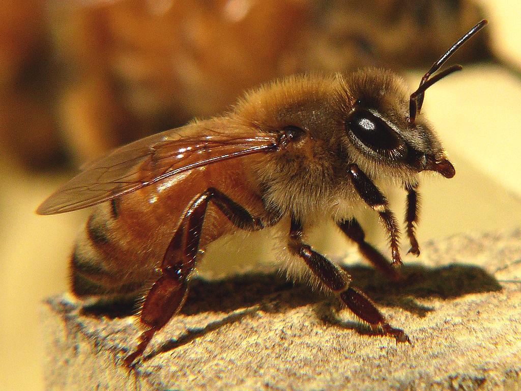 Apis Mellifera, l'abeille européenne