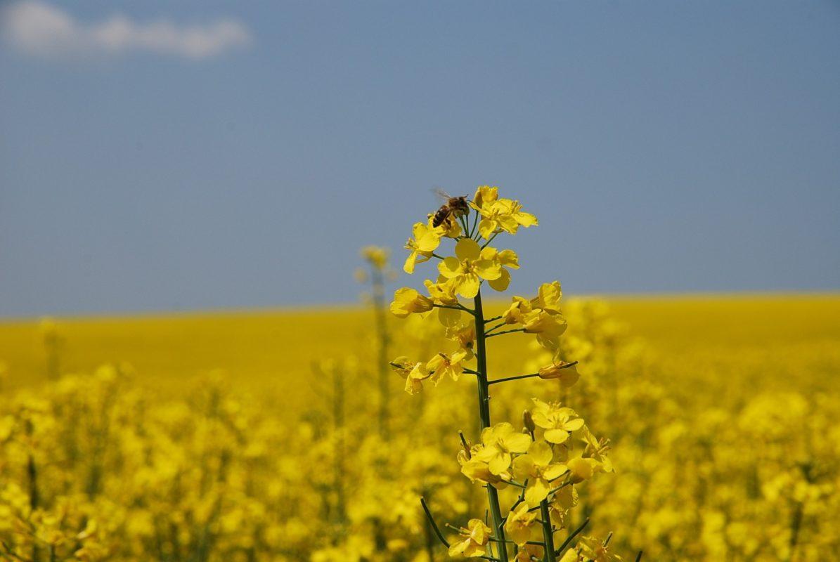 Une abeille qui butine une fleur de colza potentiellement traitée par des pesticides néonicotinoïdes.
