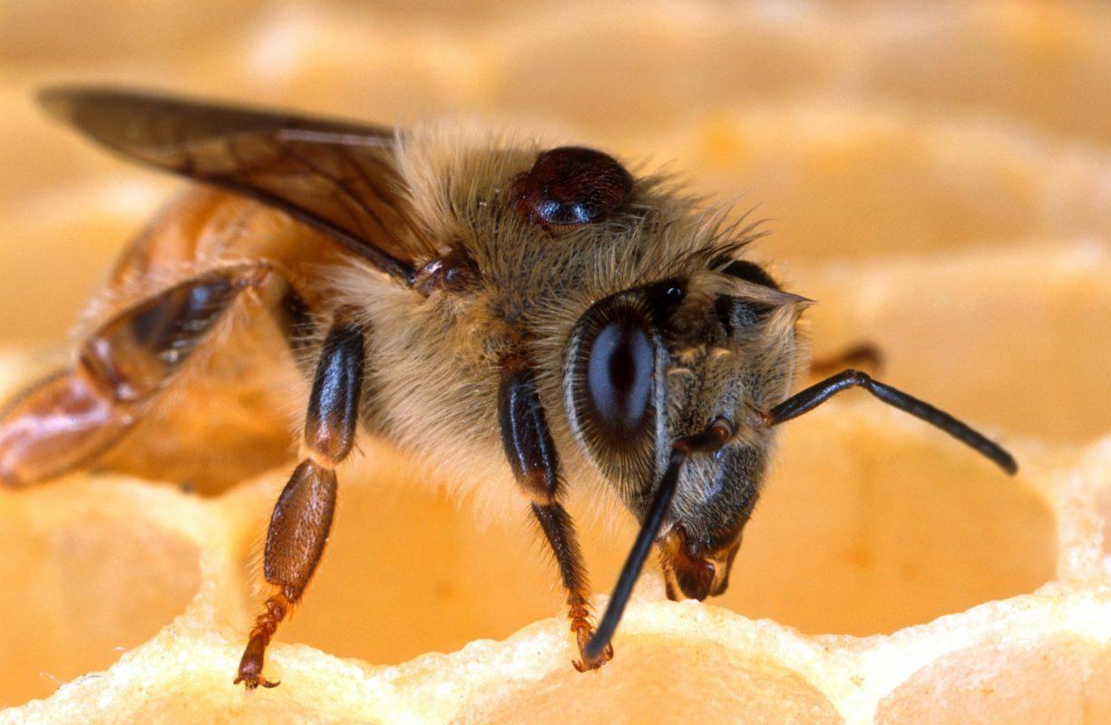 Abeille avec Varroa Destructor sur le thorax