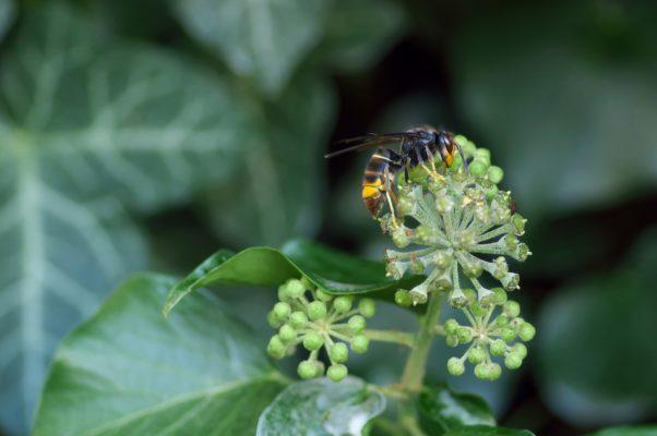 Frelon asiatique sur une fleur - invention d'un piège pour sauver les abeilles
