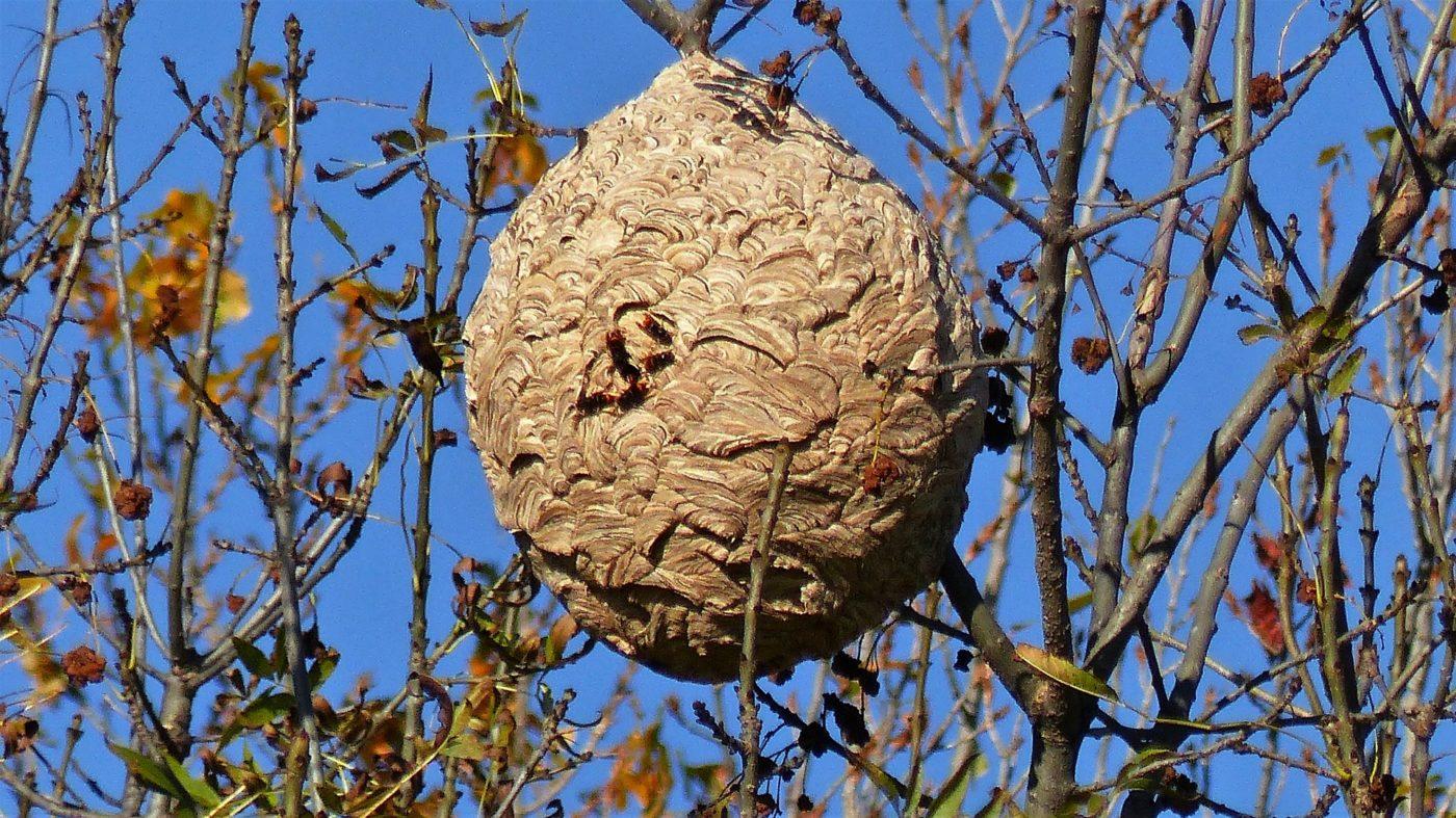Nid de frelon asiatique suspendu dans un arbre