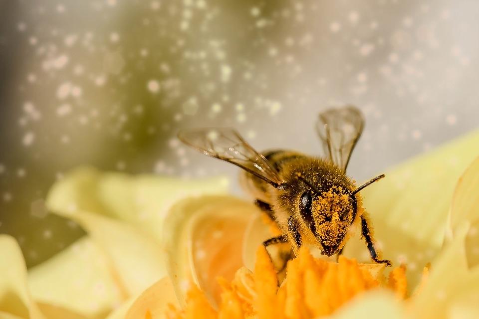 Gros plan sur une abeille couverte de pollen : c'est un super-aliment parfait