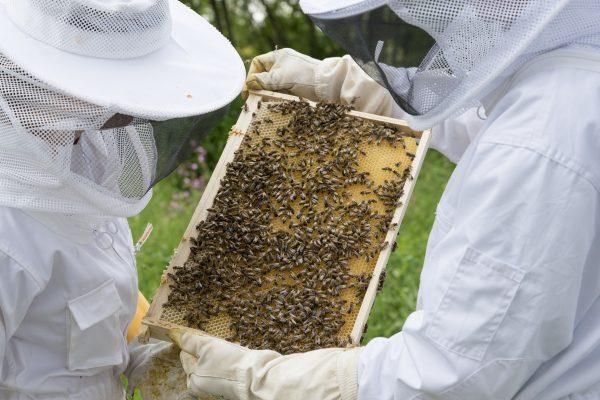 Apiculteurs manipulant un cadre de ruche : le moment de récolter le miel est un choix important pour éviter sa fermentation.