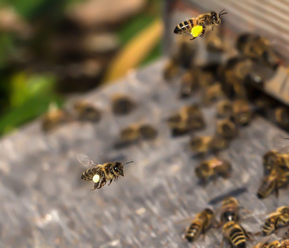 Gros plan sur abeilles rentrant à la ruche chargées de pollen.