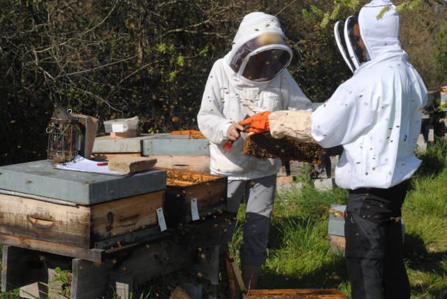 Photos des visites de printemps, au début de la saison de production de la gelée royale : l'apiculteur vérifie la bonne santé des ruches et introduit les cadres vides pour amorcer la production de la gelée royale.