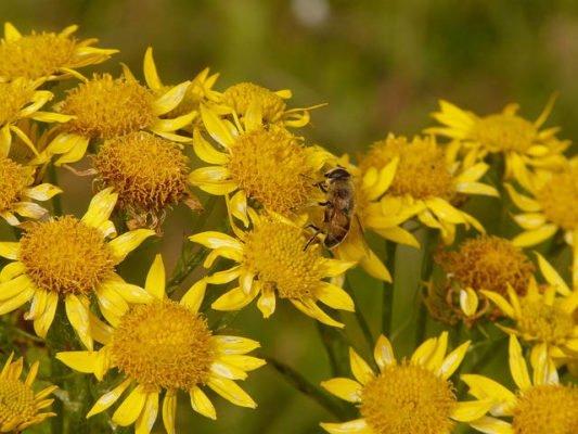 Photo de la fleur d'Arnica Montana butinée par les abeilles de Villard'Or.