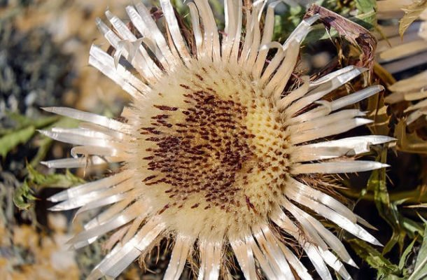 Photo de la fleur de Carline butinée par les abeilles de Villard'Or.