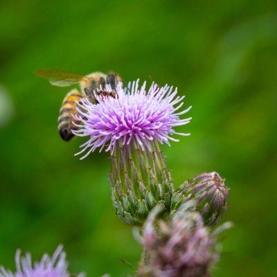 Photo de la fleur de chardon butinée par les abeilles de Villard'Or.