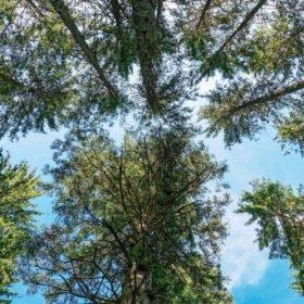 Le miel de sapin est rare et précieux : vue vers le ciel d'un sous-bois de forêt de sapins.