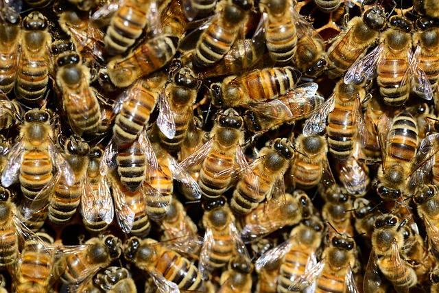 Grappe de survie formée par les abeilles au sein de la ruche l'hiver pour survivre au froid et protéger la reine.