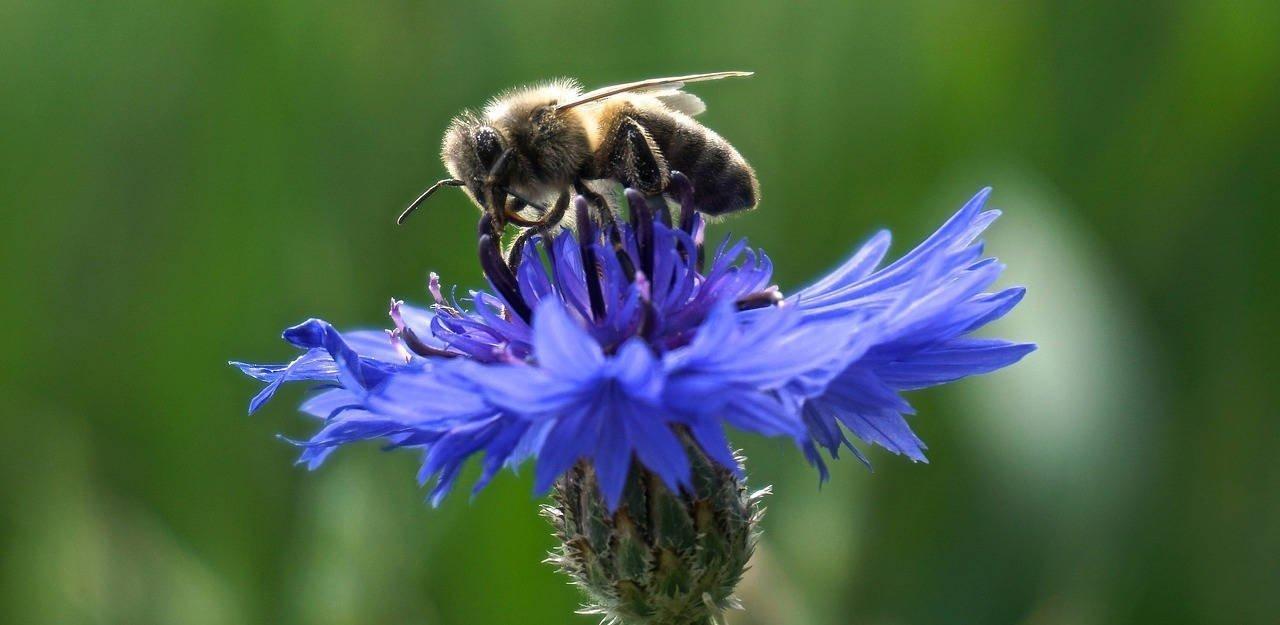 Abeille sur une fleur de bleuet (mellifère) à privilégier dans nos jardins et jardinières.