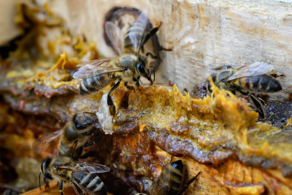 Gros plan sur le cadre d'une ruche : quelques abeilles et de la propolis.