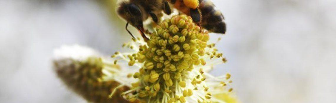 Récolte de pollen par une abeille sur une fleur
