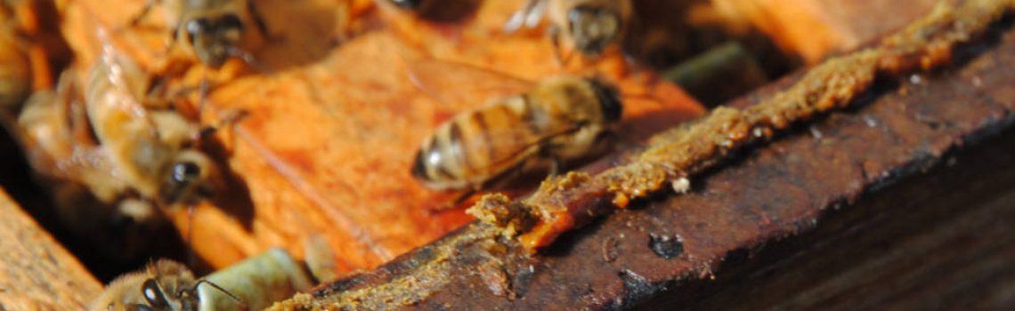 Gros plan d'un cadre où l'on voit bien la propolis accumulée par les abeilles pour colmater les trous de la ruche (protection contre le froid, ...).