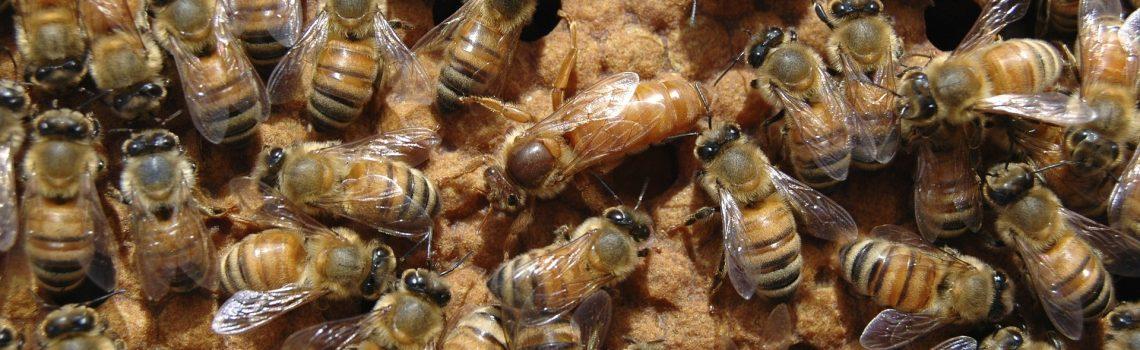 La gelée royale sert à nourrir la reine toute sa vie : photo d'une reine entourée de ses ouvrières.